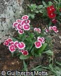 (DICH6) Dianthus chinensis ´Floral Lace Picotee´