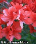 (RHSI23) Rhododendron simsii ´Frank Arsen´