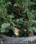 (TABA) Taxus baccata