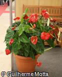 (ANAN15) Anthurium andraeanum ´Tropic Fire´