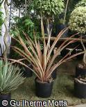 (ANBR3) Ananas bracteatus ´Tricolor´
