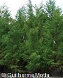 (JUCH5) Juniperus chinensis