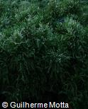 (CRJA5) Cryptomeria japonica ´Knaptonensis´