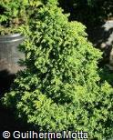 (CRJA4) Cryptomeria japonica ´Yokohama´