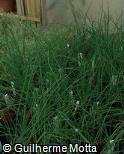 (ALFI4) Allium fistulosum