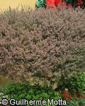 (LESC2) Leptospermum scoparium ´Red Damask´