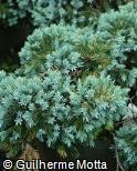 (JUSQ3) Juniperus squamata ´Blue Star´