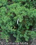 (JURI) Juniperus rigida var. conferta ´Blue Pacific´