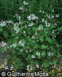 (PEOD) Pelargonium odoratissimum