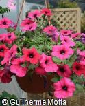 (PEHY18) Petunia × hybrida ´Surfinia Purple´