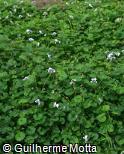 (VIHE) Viola hederacea