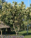 (FIEL3) Ficus elastica ´Variegata´