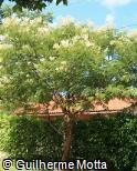 (ACPO2) Acacia polyphylla