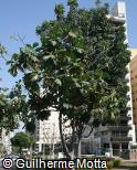 (ARCA) Artocarpus camansi