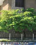 (BAMO) Bauhinia monandra