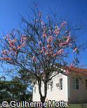(CAJA3) Cassia javanica subsp. nodosa
