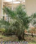 (ALAR3) Allagoptera arenaria