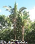 (ATOL) Attalea oleifera