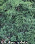 (JUPF) Juniperus × pfitzeriana