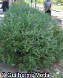 (POMY) Polygala myrtifolia ´Grandiflora´