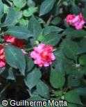 (IMWA13) Impatiens walleriana ´Rose Star´
