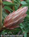 (PRCY) Protea cynaroides ´Mini King´