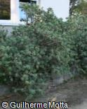 (EUBA) Euphorbia balsamifera