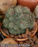 (MAMA) Mammillaria magnimamma