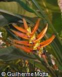 (HEAU) Heliconia aurorea