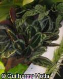 (CARO8) Calathea roseopicta ´Eclipse´