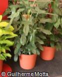 (PHBI) Philodendron bipennifolium