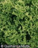 (CHPI5) Chamaecyparis pisifera ´Plumosa Aurea Nana´