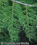 (CHLA6) Chamaecyparis lawsoniana ´Allumii Aurea´