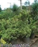 (JUCH4) Juniperus chinensis ´Stricta Alba´