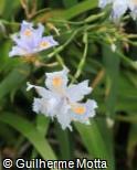 (IRJA2) Iris japonica