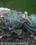 (ECGI2) Echeveria gibbiflora ´Blue Waves´