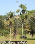(THPA) Thrinax parviflora