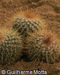 (MAPE) Mammillaria petterssonii