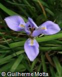 (IRUN) Iris unguicularis