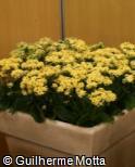 (KABL25) Kalanchoe blossfeldiana ´Gabor´