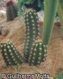 (ECCA2) Echinopsis candicans