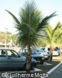 (CONU2) Cocos nucifera ´Dwarf Green´