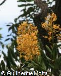 (VOTH) Vochysia thyrsoidea