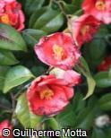 (CAJA4) Camellia japonica ´Unryu´