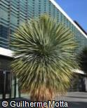 (YURO) Yucca rostrata