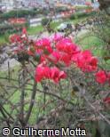 (BOSP3) Bougainvillea spectabilis ´Ambiance´