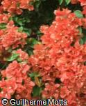 (BOSP4) Bougainvillea spectabilis ´Tomato Red´