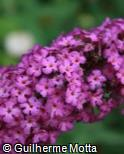 (BUDA2) Buddleja davidii ´Royal Red´