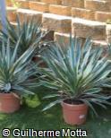 (YUGL3) Yucca gloriosa ´Variegata´
