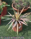 (YUFI2) Yucca filamentosa ´Color Guard´